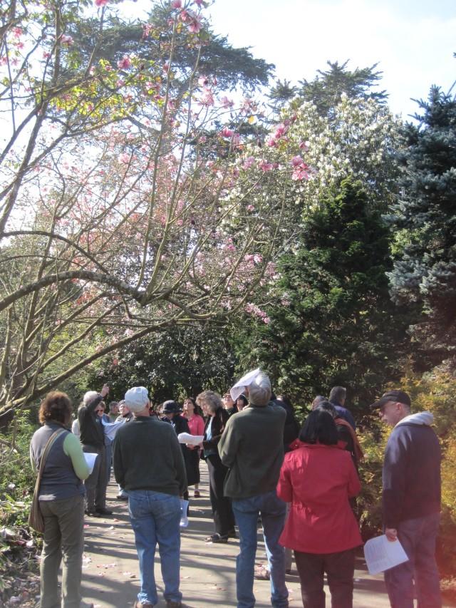 Magnolia Walk Precocious Blossoms Harbingers Of Spring Golden