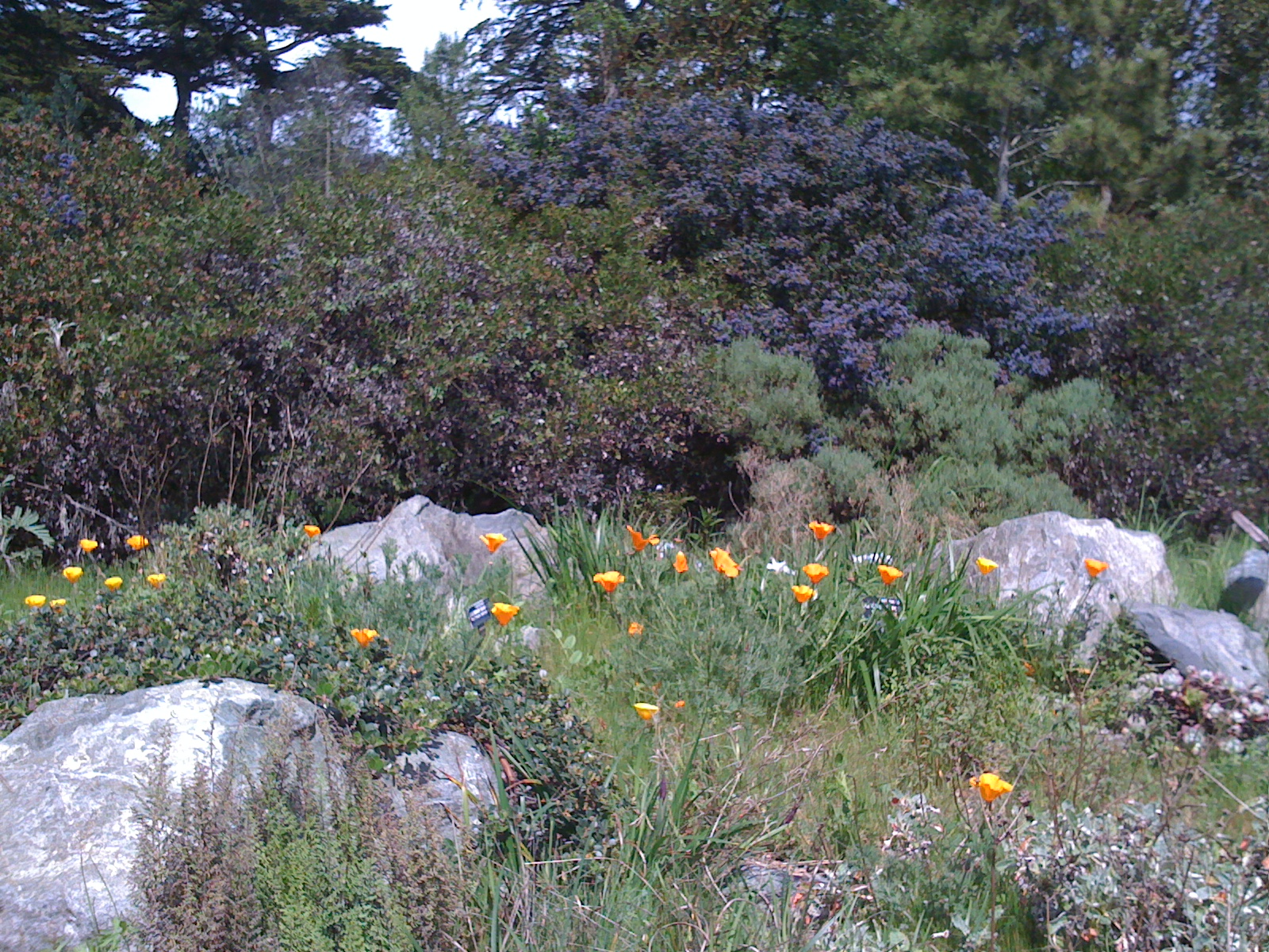 California Poppies Backed By Ceanothus In The Botanical Garden, California  Section