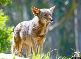 coyote in golden gate park, photo by David Cruz