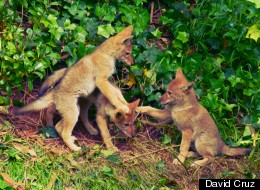 coyote pups in golden gate park (May,2012)