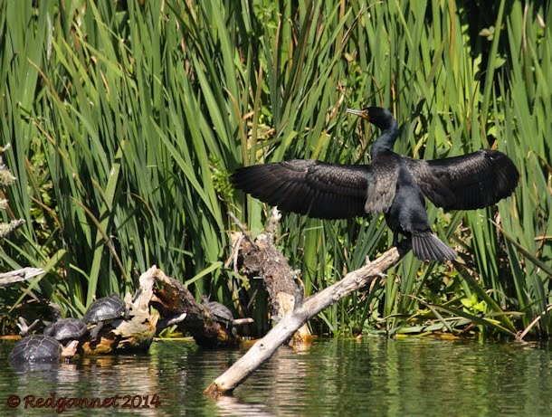 Cormorant at Stow Lake (photo by Redgannet)