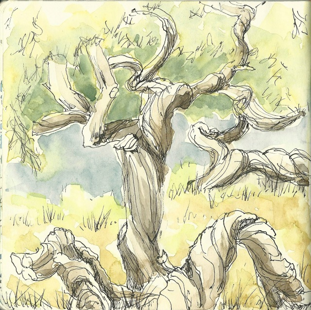 Melaleuca in Golden Gate Park (sketch by Heath Massey)