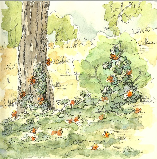 nasturtium in golden gate park (sketch by Heath Massey)