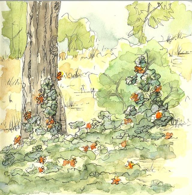 nasturtium in golden gate park (sketch by Heath Massey)