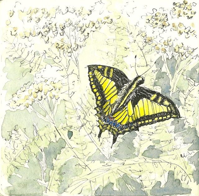 Anise swallowtail butterfly at Strawberry Hill, Golden Gate Park (sketch by Heath Massey)