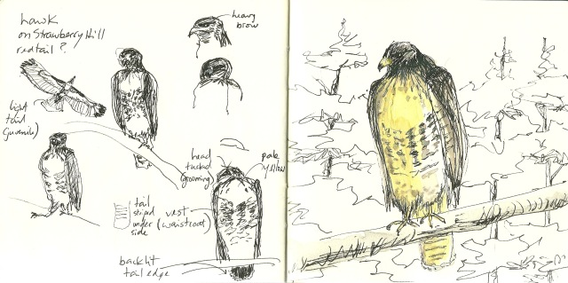 Sketches of red tail hawk on Strawberry Hill (Heath Massey)
