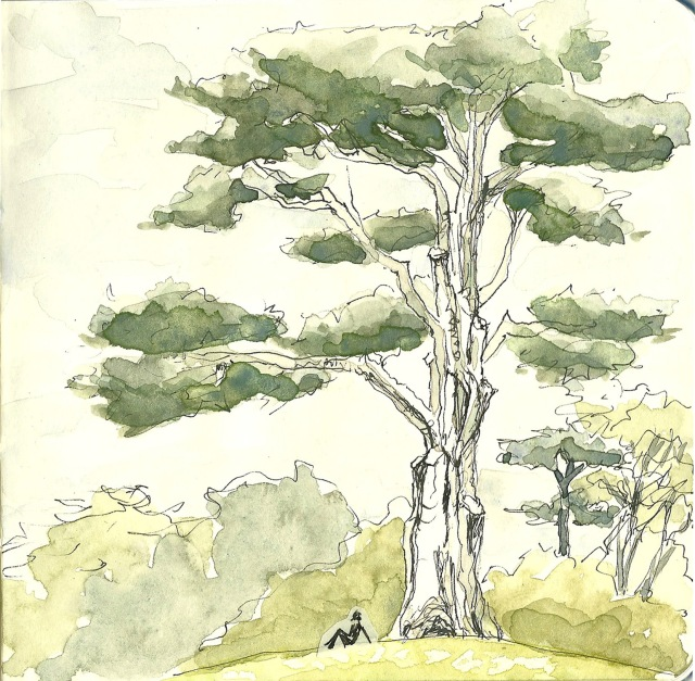 Monterey cypress in the Botanical Garden (sketch by Heath Massey)