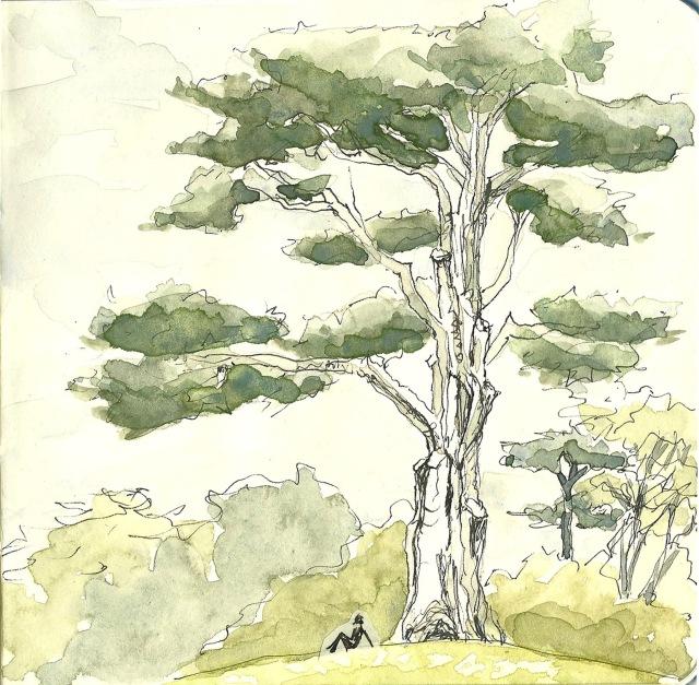 Monterey cypress in the Botanical Garden (sketch by Heath Massey)
