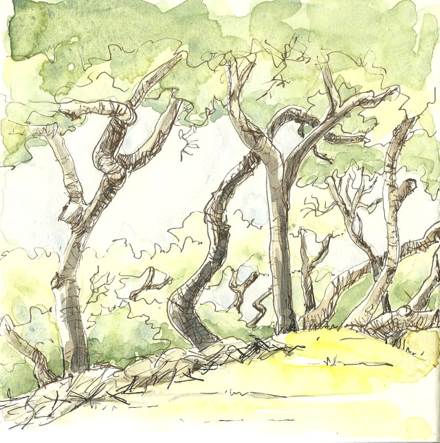 Coast live oaks in Golden Gate Park. (sketch by Heath Massey)