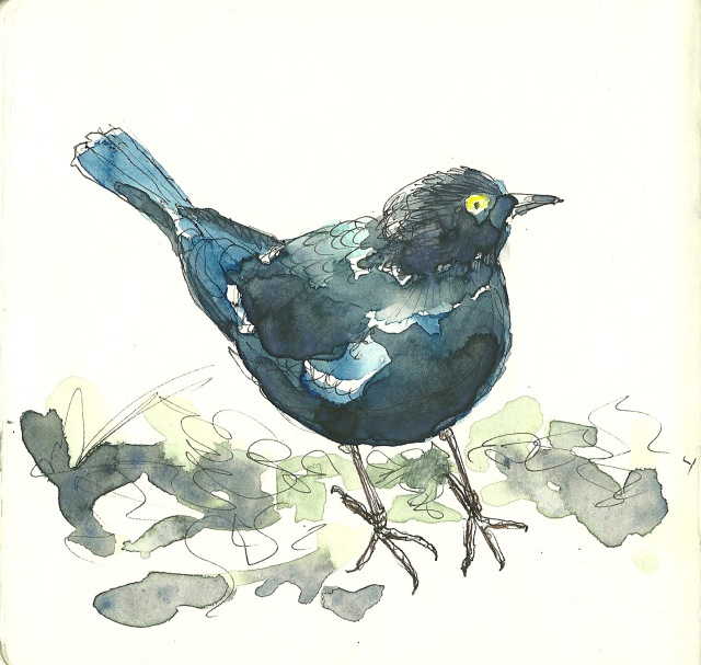 Brewer's Blackbird (sketch by Heath Massey)