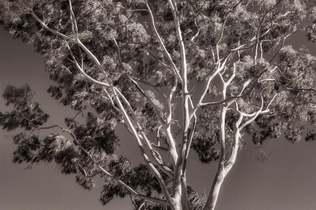bw_eucalyptus_SMKanePhoto