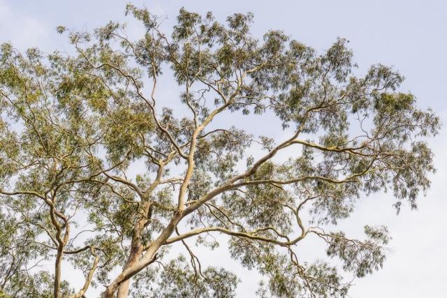 color_eucalyptus_SMKanePhoto