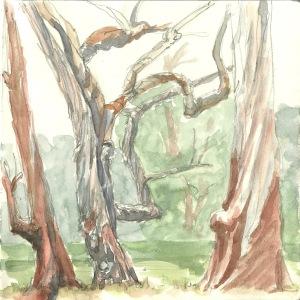 PanhandleEucalyptus